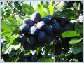 Sadzonki drzewek owocowych Śliwy (śliwka)